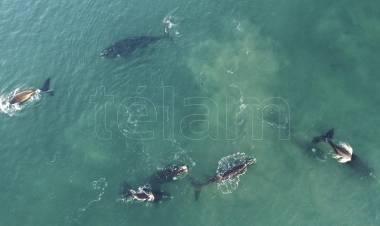 La ballena franca austral, bajo amenaza por el calentamiento de los océanos