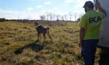 Trasladaron a un santuario natural a 5 ciervos que eran mantenidos como mascotas